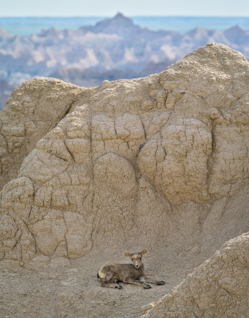 A Bighorn lamb rests in the shade of a rugged ridge at Badlands National Park, SD
