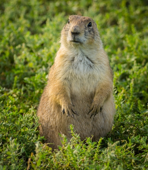A curious prairie dog perks up at the arrival of human visitors in the Badlands