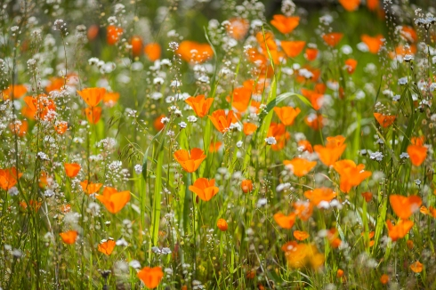 Poppies explode with color on a hillside in the Merced River Canyon, California