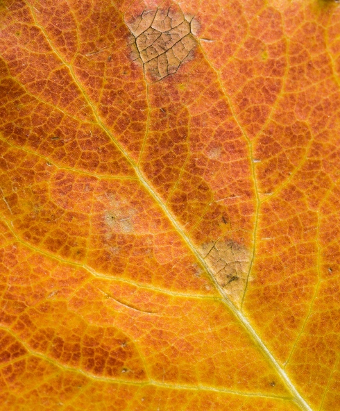 Focusing close on an autumn aspen leaf reveals the intricate veins and intense color