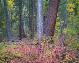 Colors of autumn decorate a peaceful mixed forest in Lundy Canyon