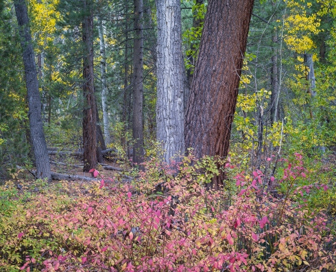 Eastern Sierra forest