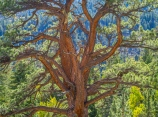 A big beautiful ponderosa pine artfully decorates Lee Vining Canyon