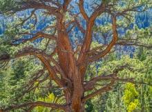 A big beautiful ponderosa pine artfully decorates Lee Vining Canyon