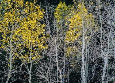 Aspens reveal their visually graphic skeletons as golden autumn leaves drop