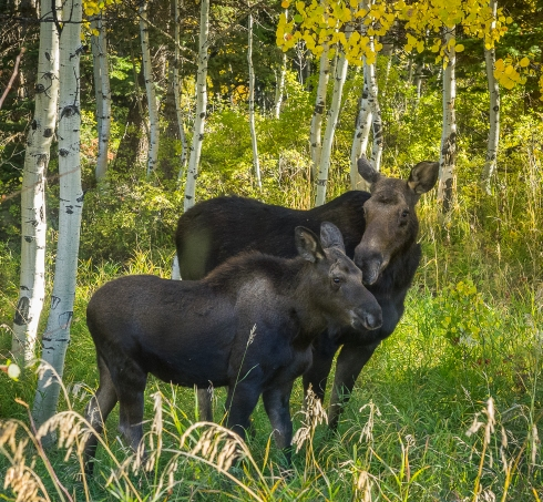 A cow moose and her calf graze right outside our camp trailer (photo by Wendy Martin)