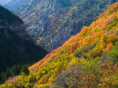Layers of steep mountain ridges glow with a riot of autumn color in American Fork Canyon, UT