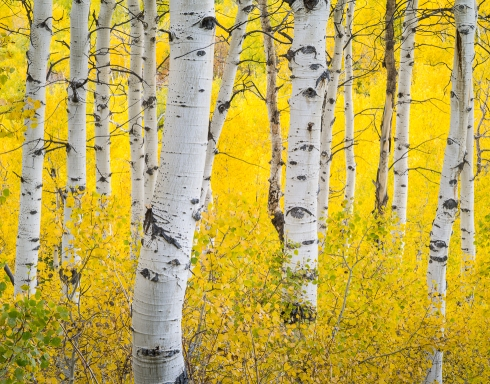 A quiet grove of aspens nestled in the Wasatch mountain range along Alpine Loop Scenic Byway