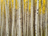 A quiet aspen grove makes for a serene location in the La Sal range near Moab