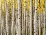 A quiet aspen grove makes for a serene location in the La Sal range near Moab