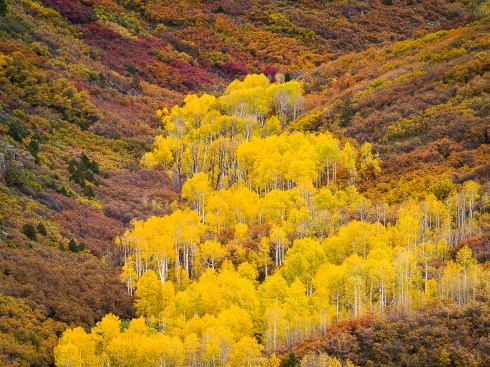 A grove of aspens explodes in bright yellow on a hillside covered in scrub oaks
