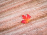 A solitary fallen maple leaf complements the textured lines of sandstone during autumn at Zion