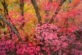 Showy maples bring jaw-dropping color to the autumn party on Zion's east side canyons
