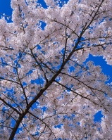 A flowering tree set against a blue sky is a common yet glorious sight