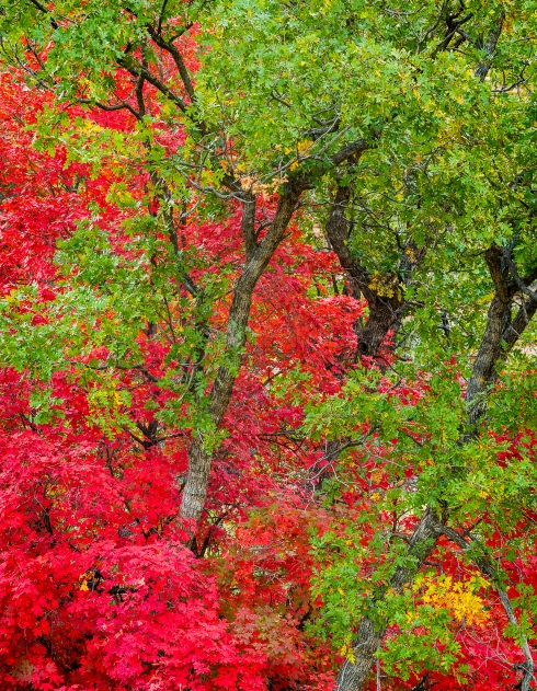 The pallet of Christmas colors decorates a small winding side canyon on the east side of Zion National Park in autumn