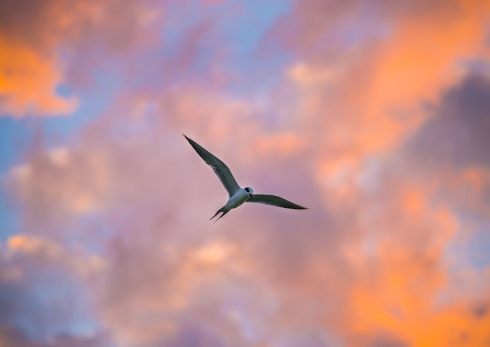 A seagull soars against a dreamy backdrop of sunset-painted clouds at Clearwater Beach, FL
