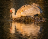A sandhill crane chick takes refuge underneath momma's big wing