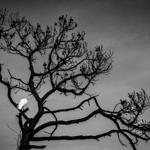 The dark graphic skeleton of a coastal pine provides rest for an egret on Honeymoon Island, FL