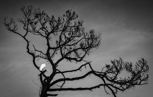 The dark graphic skeleton of a coastal pine provides rest for an egret on Honeymoon Island, FL