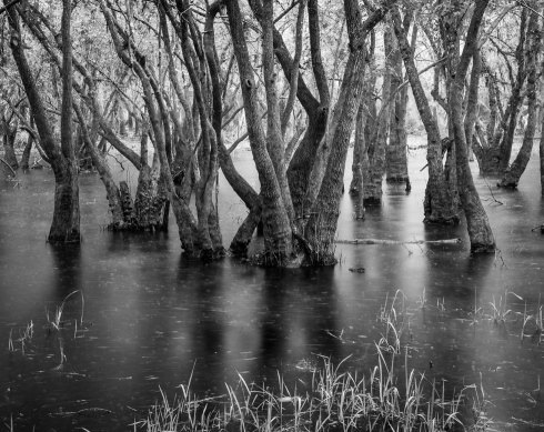 A grove of trees in swampland captured during a heavy downpour at Myakka River State Park