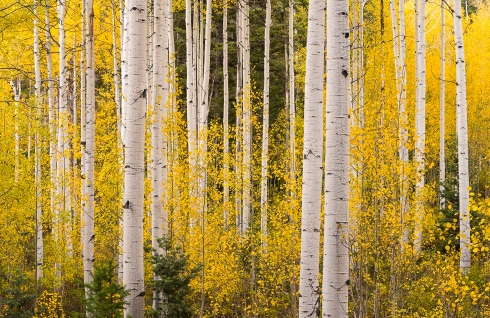 A grove of aspen glow in the soft light of dusk along American Fork Canyon, Utah