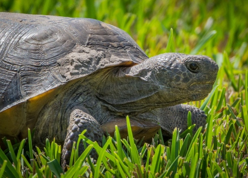 A turtle takes its sweet time   crawling across the grass of our backyard (photo by Wendy Martin)