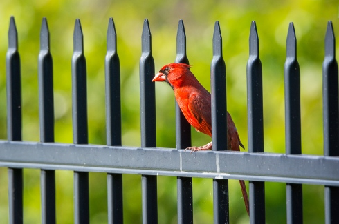 A stunning red male Northern Cardinal comes within feet of our back door