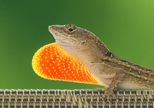 An anole lizard lounging on our patio displays its eye-catching dewlap