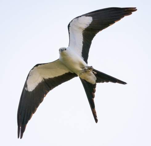 Swallow-tailed Kite With Frog