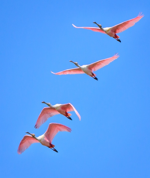 The pink coloring of roseate spoonbills pops against a Florida blue sky