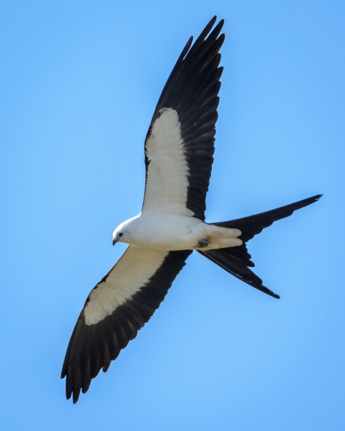 The striking Swallow-tailed Kite is one of the most eye-catching birds of prey