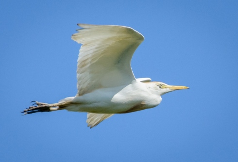 A Cattle Egret takes flight in the skies above my backyard
