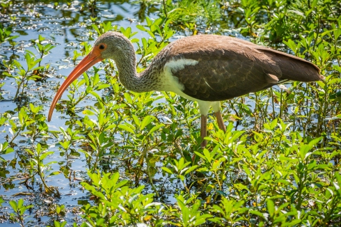 A juvenile ibis hunts for some lunch along the Upper Tampa Bay Trail