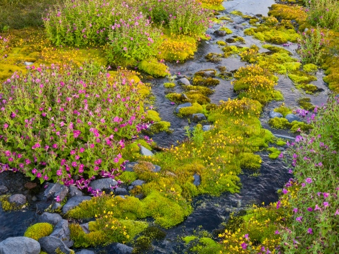 Pink and yellow monkeyflowers decorate a tributary of the Paradise River