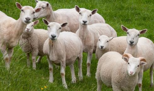 As we gawked at the Amish in Pennsylvania, the Amish sheep gawked at us.