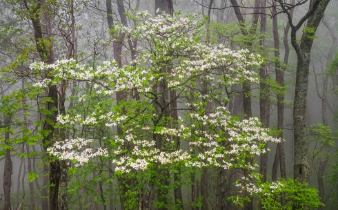 Dogwood and fresh spring greens decorate a foggy forest on the Blue Ridge Parkway