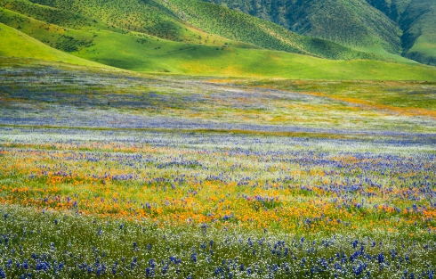 The glory of wildflowers against a backdrop of rolling hills in California