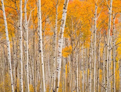 Utah Aspen Grove