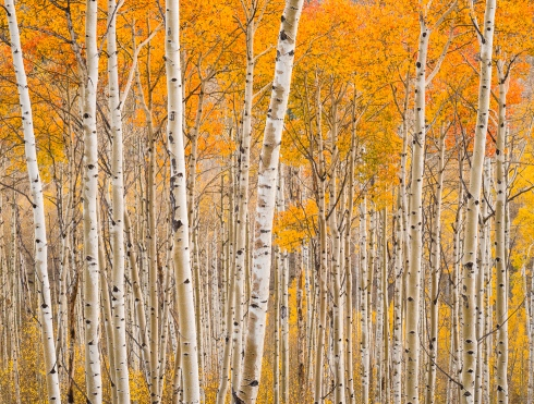 Soft light filters through a sublime aspen grove in southwest Utah mountains