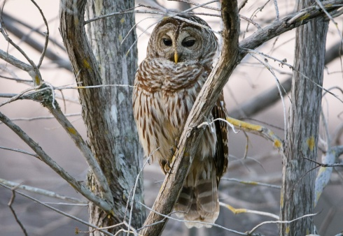 A beautiful barred owl sitting quietly in a cypress tree was a great reward at day's end