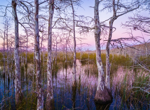 The pastel colors of dusk wash over a dwarf cypress forest
